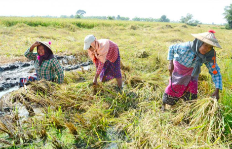 Earnings from agriculture exports decline despite lower kyat exchange rate